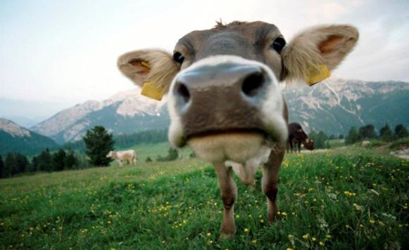 Los gases de las vacas contaminan nuestro planeta (por Iohanna Küppers)